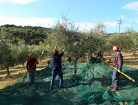 Umbria-raccolta-olive