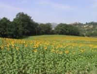 campo di girasoli