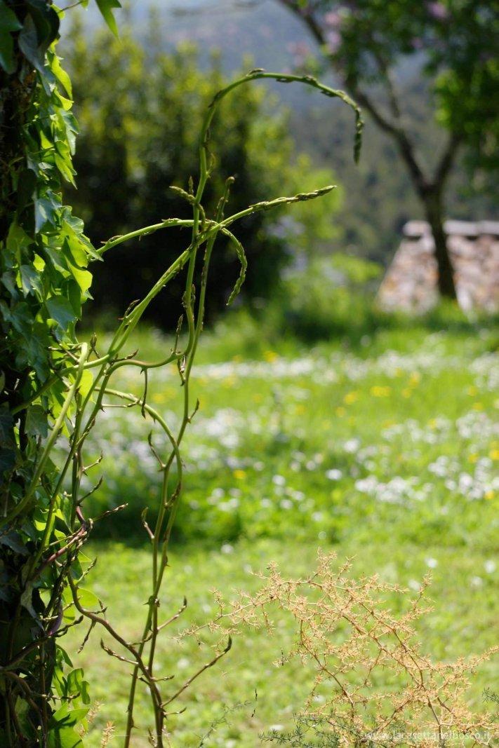 asparagi selvatici di bosco